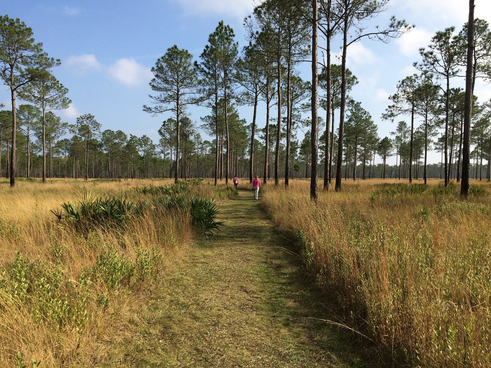 Longleaf pine stand with open, grassy understory.