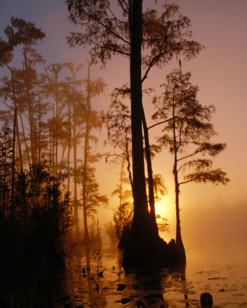 Cypress trees emerging from a swamp with a sunset background