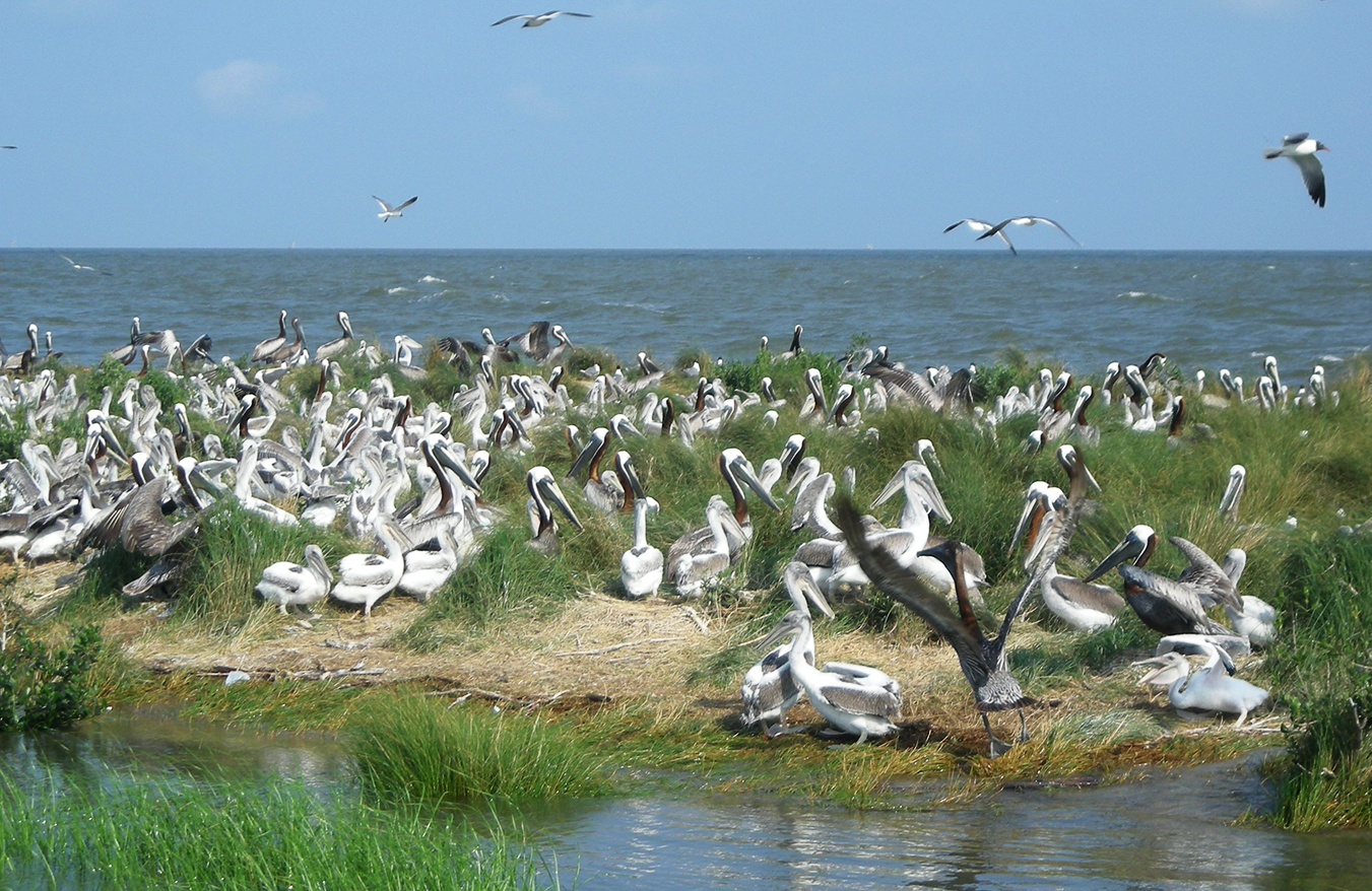Pelicans on the Chandeleur Islands.