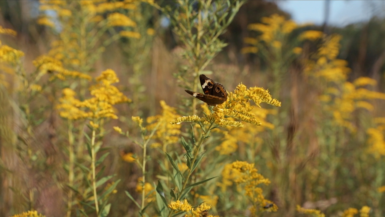 Brown butterfly sitting on a yellow flower in a prairie meadow.