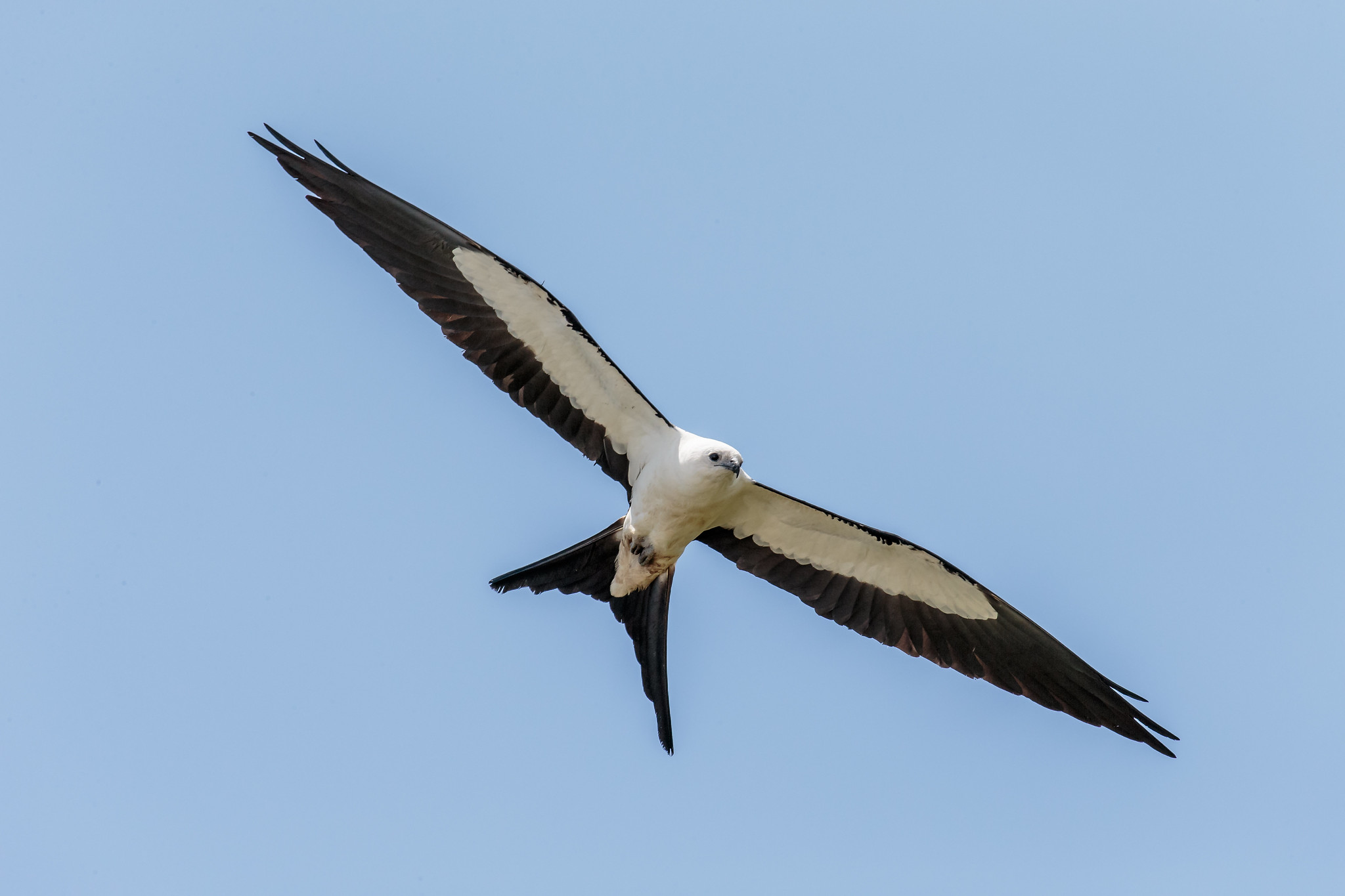 Swallow-tailed kite in flight.